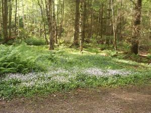 Glenesk Woodland Scene